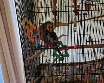 Free cockatiel  & cage  have a health  issue  cant keep