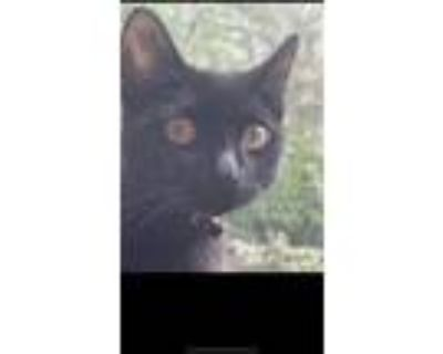 Adopt Shadow a All Black Russian Blue / Mixed (short coat) cat in Los Angeles