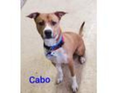 Adopt CABO a Boxer, American Staffordshire Terrier