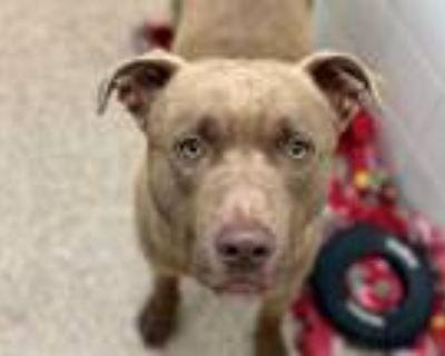 Adopt SAXON a Brown/Chocolate Labrador Retriever / Mixed dog in Albuquerque