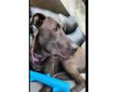 Adopt JEMIMA a Labrador Retriever