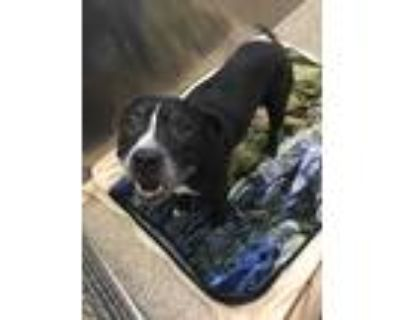 Adopt Ramsey a Pit Bull Terrier