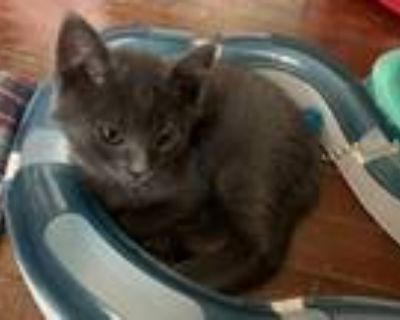 Adopt Yahtzee a Gray or Blue Domestic Shorthair / Mixed cat in Maywood