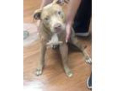 Adopt 070421 Prim a Tan/Yellow/Fawn American Pit Bull Terrier / Mixed dog in