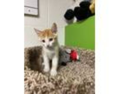 Adopt Noodles a Orange or Red (Mostly) Domestic Shorthair (short coat) cat in