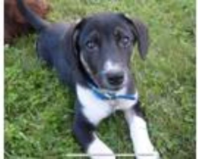 Adopt Ohana a Black - with White Hound (Unknown Type) dog in East Greenville