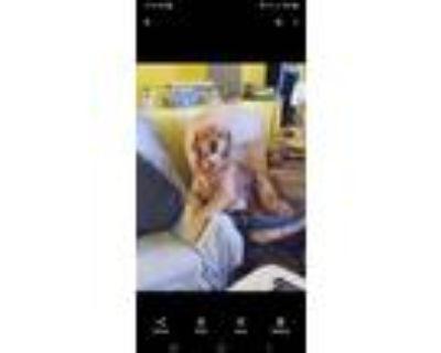 Adopt Clancy a Red/Golden/Orange/Chestnut Golden Retriever / Mixed dog in