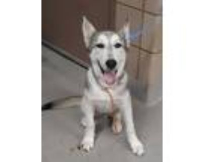 Adopt MAX a White Husky / Mixed dog in Mesquite, TX (32029437)