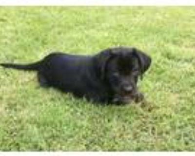 Adopt Ava a Black Labrador Retriever / Mixed dog in Cumming, GA (31618183)