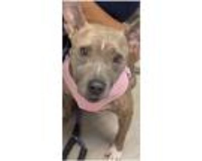 Adopt Jackie a American Staffordshire Terrier / Bull Terrier dog in Benton