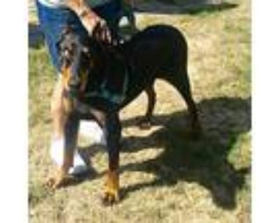 Ollie, Doberman Pinscher For Adoption In Minneapolis, Minnesota