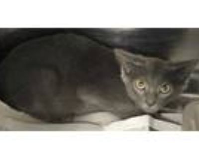 Adopt 47840895 a Gray or Blue Domestic Shorthair / Domestic Shorthair / Mixed