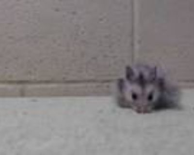 Adopt a Black Hamster / Mixed small animal in Downey, CA (31965162)