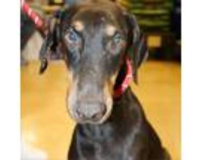 Adopt Rexly JuM a Black Doberman Pinscher dog in Richfield, MN (31250326)