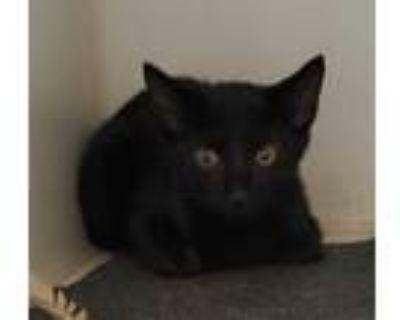 Adopt BIG JOHN a All Black Domestic Shorthair / Mixed (short coat) cat in
