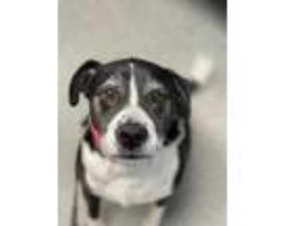 Adopt AVA a Black - with White American Pit Bull Terrier / Mixed dog in