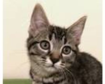 Adopt Walden a Brown Tabby Domestic Shorthair (short coat) cat in Manitou