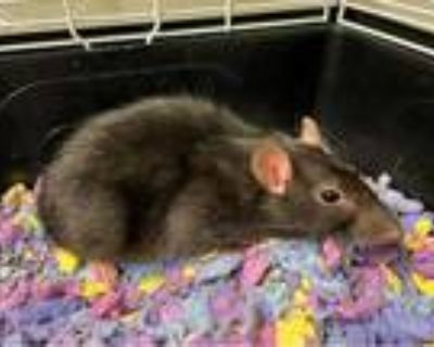 Adopt COCO a Silver or Gray Rat / Mixed small animal in Fort Wayne