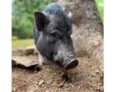 Chiquita, Pig (potbellied) For Adoption In Sultan, Washington