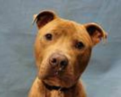 Adopt Gambino a Brindle American Pit Bull Terrier / Mixed dog in Woodbury