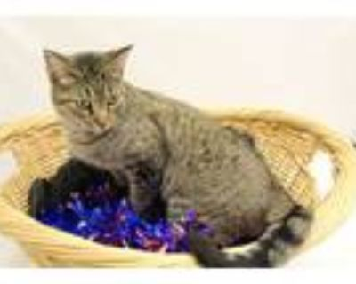 Adopt Stacey a Domestic Short Hair