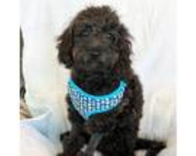 Adopt Scout a Cavalier King Charles Spaniel, Poodle