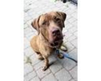 Adopt Rex a Red/Golden/Orange/Chestnut American Pit Bull Terrier / Mixed dog in