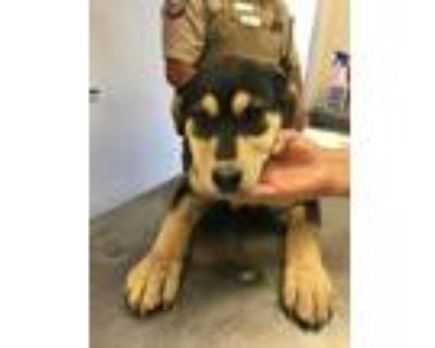 Adopt 48003479 a Black Shepherd (Unknown Type) / Mixed dog in Los Lunas
