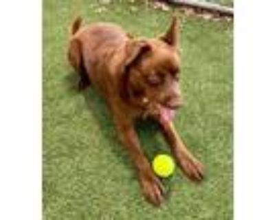 Adopt Ally a Brown/Chocolate Labrador Retriever / Mixed dog in Arlington