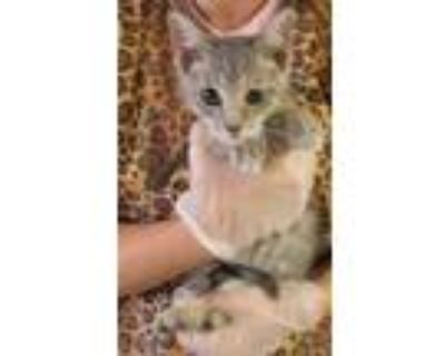 Adopt Vinny a Gray or Blue Domestic Shorthair / Domestic Shorthair / Mixed cat