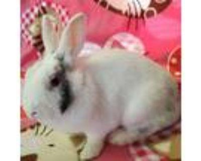 Lacey, Harlequin For Adoption In Murrieta, California