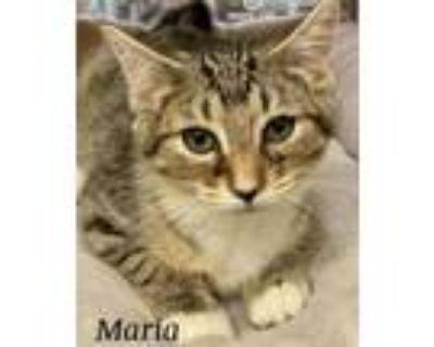 Adopt Maria a Domestic Short Hair