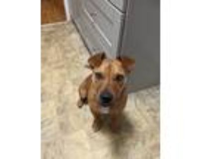 Adopt Charlie a Tan/Yellow/Fawn - with Black Boxer / Shepherd (Unknown Type) /