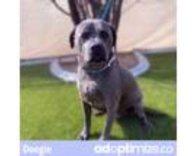 Adopt DOOGIE a Gray/Blue/Silver/Salt & Pepper American Pit Bull Terrier / Mixed