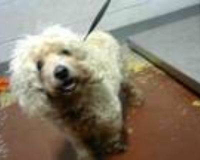 Adopt BETSY a Poodle