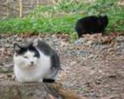 Adopt Giovanna a Domestic Shorthair / Mixed (short coat) cat in Pittsboro