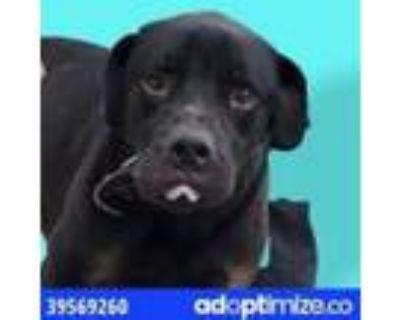 Adopt TOBY a White Labrador Retriever / Mixed dog in El Paso, TX (31526171)