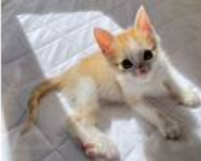 Adopt Sherbert a Orange or Red (Mostly) Domestic Shorthair / Mixed (short coat)