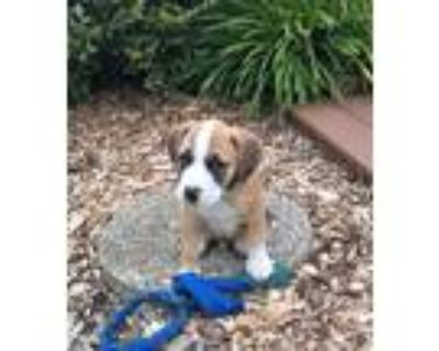 Adopt Murray a Tricolor (Tan/Brown & Black & White) Hound (Unknown Type) / Mixed