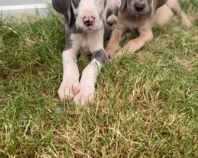 Lunds Great Danes Puppies Available