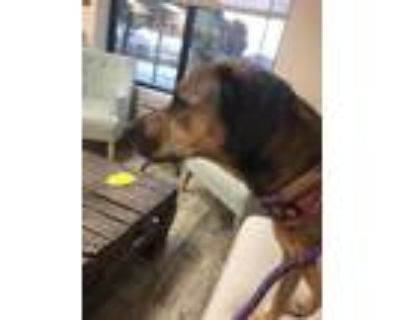 Adopt MILLIE a Brown/Chocolate - with Black Labrador Retriever / Mixed dog in