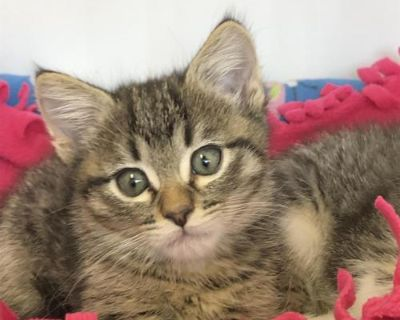 Male Domestic Short Hair named Quinn available for adoption