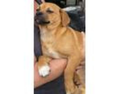 Adopt Poe a Tan/Yellow/Fawn Pug / Beagle / Mixed dog in Chester Springs