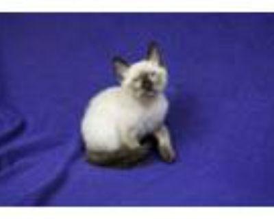 Adopt Dice a Domestic Short Hair, Siamese