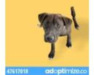Adopt 47617018 a Brown/Chocolate Retriever (Unknown Type) / Mixed dog in El