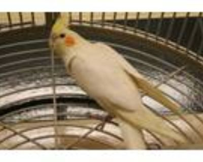 Adopt Honey - Cockatiel a Yellow Other/Unknown / Other/Unknown / Mixed bird in