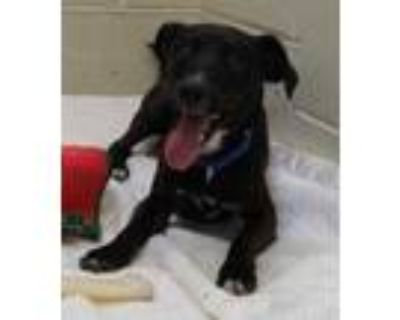 Adopt Ares a Black Dachshund / Mixed dog in Cheyenne, WY (32073470)