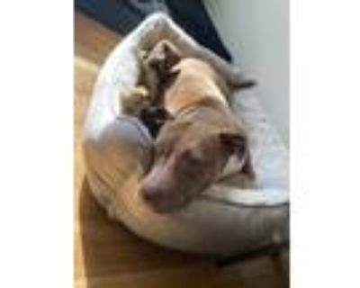 Adopt Carly a Red/Golden/Orange/Chestnut - with Black Terrier (Unknown Type