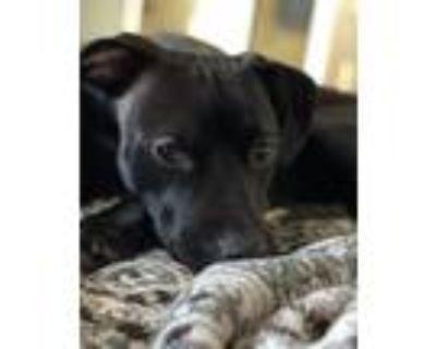 Adopt Raven a Black Labrador Retriever / Mixed dog in Broken Arrow