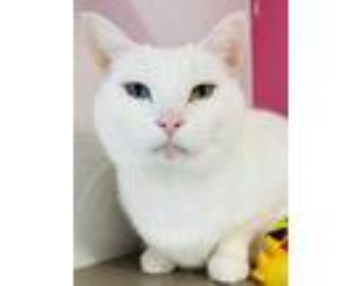 Adopt Yayo a White Domestic Shorthair / Domestic Shorthair / Mixed cat in
